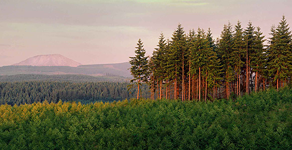 A managed forest at sunset